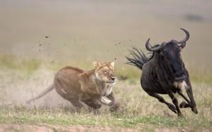 Wildebeest+migration+lions+hunting+wildebeest++lioness-chasing-a-wildebeest-Masai+Mara+Kenya+animal+hunting+animal+competition+beautiful+animals+of+kenya+amazing+animal+pictures